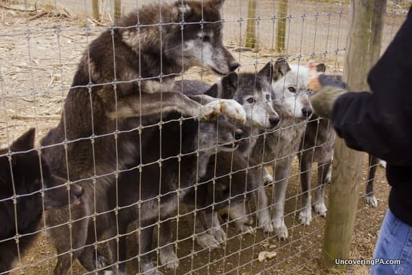 Wolves getting a treat at the Wolf Sanctuary of Pennsylvania.