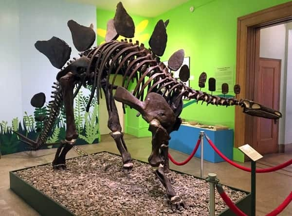 Stegosaurus fossil at the Everhart Museum in Scranton, Pennsylvania
