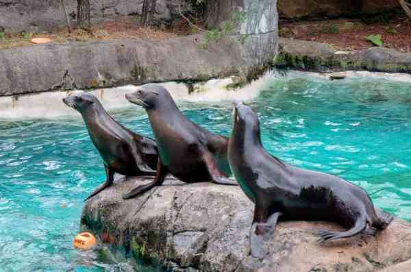 California sea lions at the zoo in Pittsburgh, PA