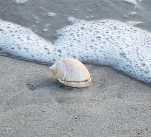 A scotch bonnet, the state shell