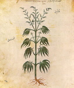 Illustration of cannabis from the <em>Vienna Dioscurides</em>. (Wikimedia Commons)
