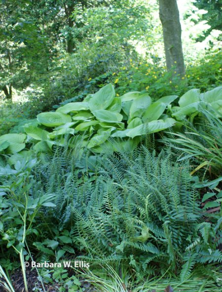 Hostas and native Christmas ferns replace lawn on a slope that would be difficult to mow.
