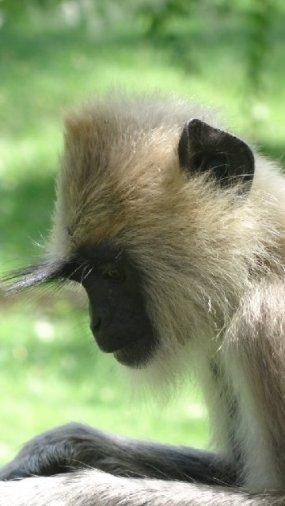 black-faced-langur