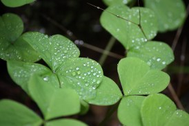 Close up of oxalis
