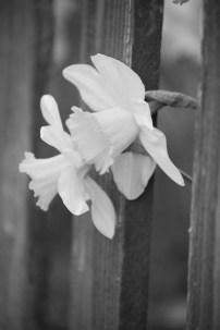 Daffodils peeking through a fence