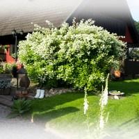 Denna underbart smultrondoftande buske!