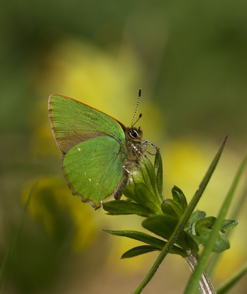 A New Forest Butterfly