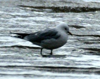 Common Gull - Luke Tiller