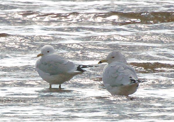 Common Gull - Meredith Sampson
