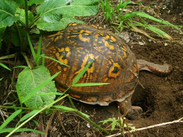 Eastern Box Turtle - Luke Tiller