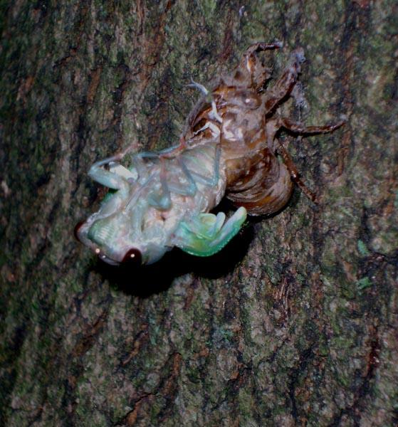 Cicada Escape - Luke Tiller