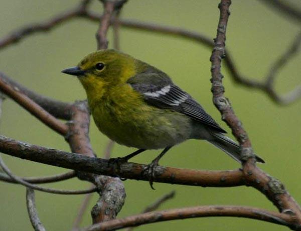 Pine Warbler - Luke Tiller