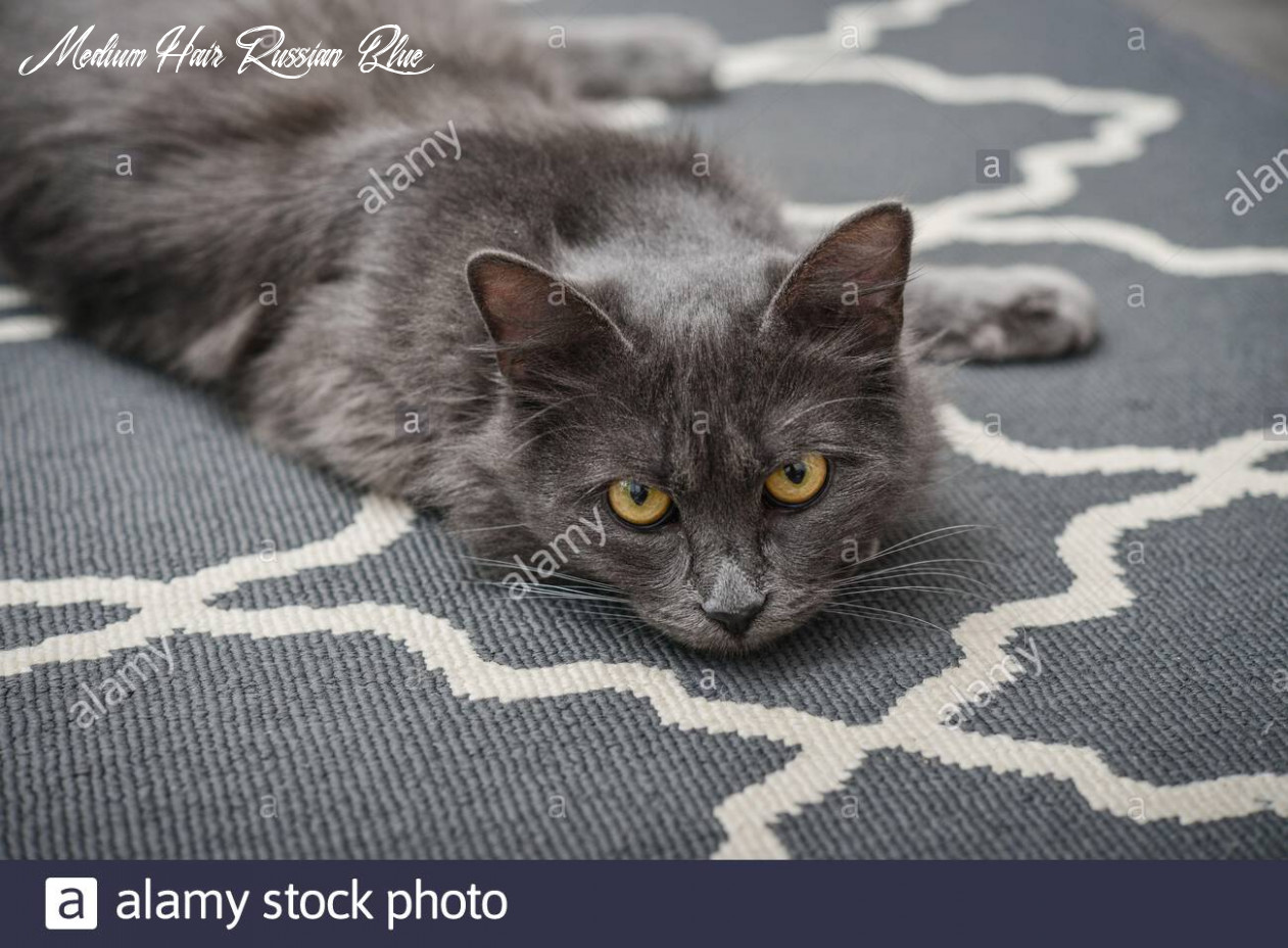 Gray cat Nebelung laing on carpet at home. Nebelung-a rare breed ...