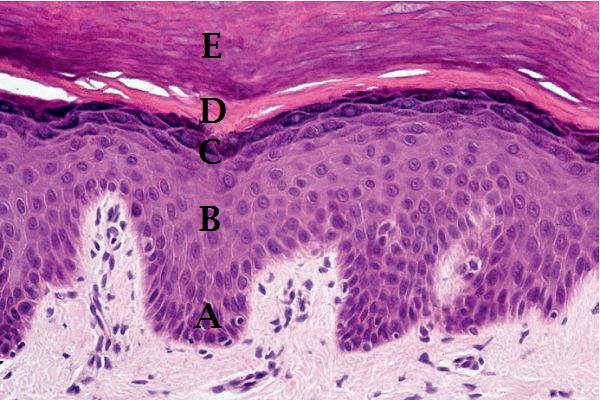 NORMAL SKIN HISTOLOGY