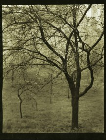 Tree - Josef Sudek