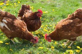 salmonella_backyard-poultry-stock-exlarge_CNN
