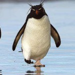 rockhopper-penguin