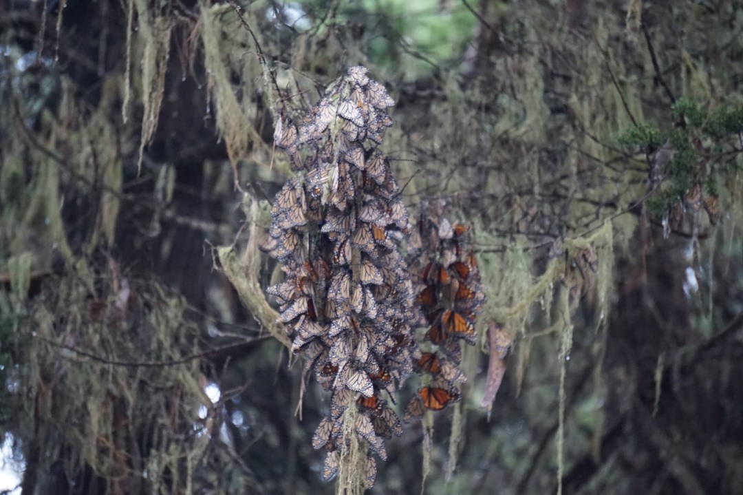 Pacific Grove Monarch Butterfly Sanctuary