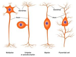 Neuron Morphology Types