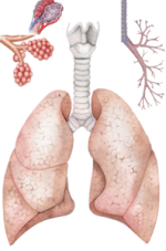 Lungs Detail