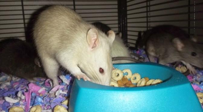 How to Teach an Old Pet Rat NEW Tricks!