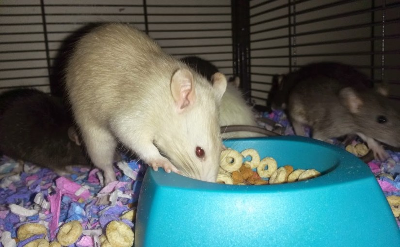 How to Teach an Old Pet Rat NEW Tricks!