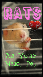 dumbo ruby eyed white fancy rat edit