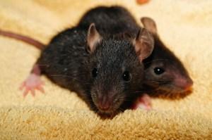 4 week old baby rat kits