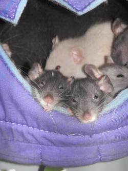 Dumbo Ratties in a Purple Hammock! Courtesy of John JJ Bathurst, of Pet Rat Lovers