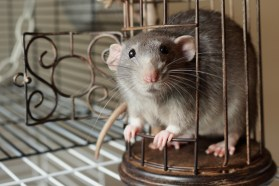 dumbo rats