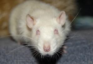 blind white rat pink eyed