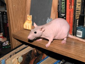 Luka the Hairless Rat. This rat has whiskers, which means it is not a true hairless. However, you can see how clean the body is on this specific specimen, giving you a good idea of what a true hairless would look like. Photo Credit: Winona Morris via Flickr