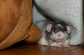 Dumbo rexed ratty, courtesy of Brad Clinesmith
