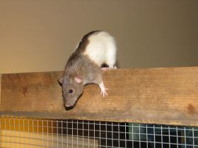 Meet Mouse, the Agouti Hooded Rat! Photo courtesy of Laurel L. of Pet Rat Lovers!