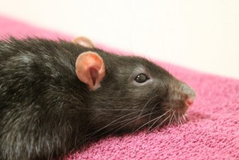 A sick rat with porphyrin all over its face can be a scary site for first time rat owners.