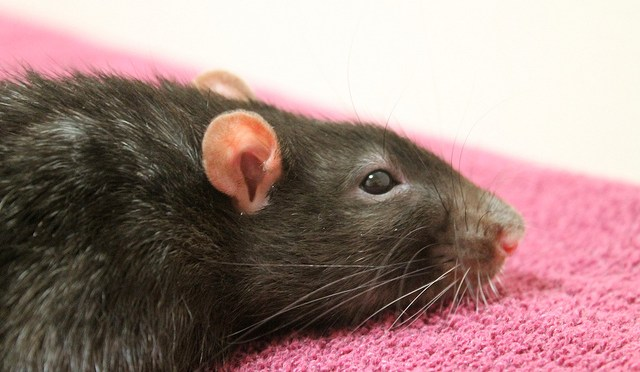 Help! My Rat's Eyes Are Bleeding! Why Do My Rat's Eyes Look Bloody?