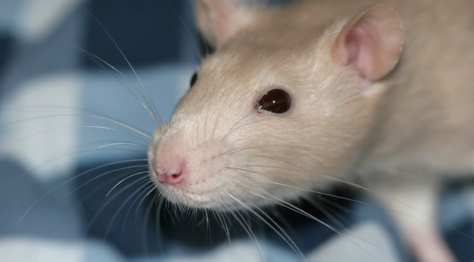 Rat Eyes: Health, Infection, Blindness
