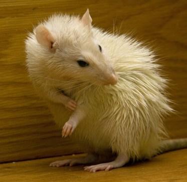 do rats like to take baths