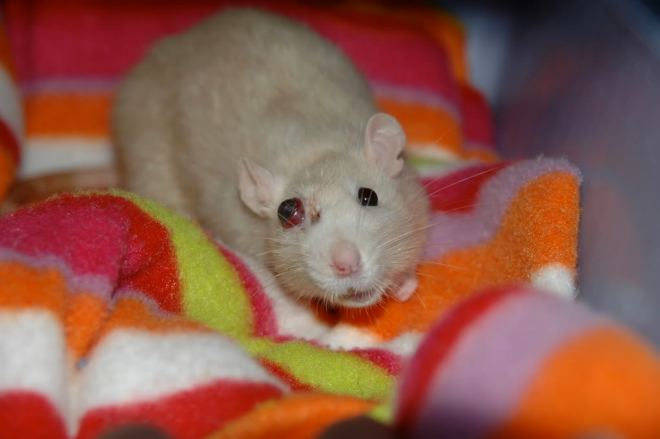 Sometimes, rats' eyes will bulge; and when they look like this, it is enough to give you a heart attack. This ratty was well taken care of, judging by the other pictures on xxchelle's Photobucket account! Photo credit: xxchelle on Photobucket