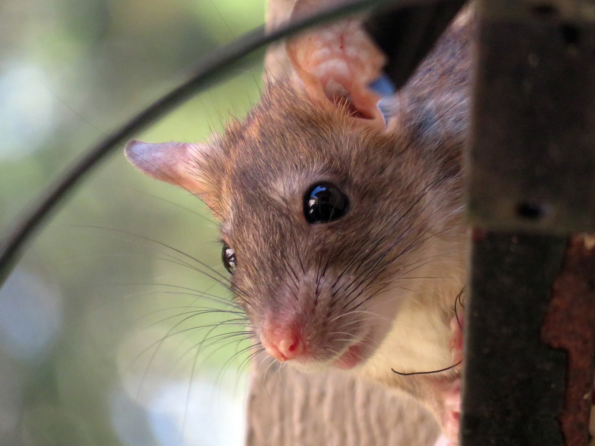 Image of: Cats Sometimes Rats Are Caught As Wild Specimens While Do Not Recommend Attempting To Domesticate Wild Animal It Has Clearly Been Done In The Past Soapboxie Domesticating Wild Adult And Baby Rats Understanding Pet Fancy Rats