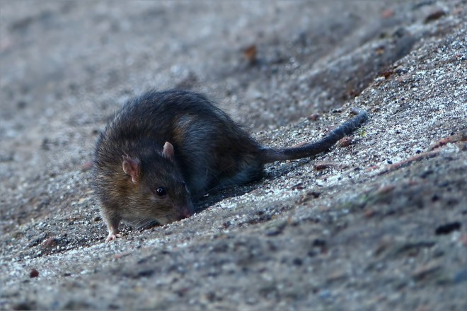 Can Rats Climb On Beds Understanding Pet Fancy Rats