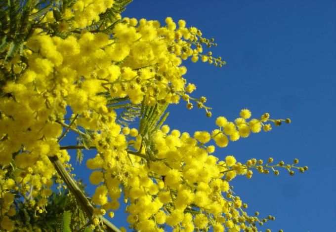 Image result for mimosa flowers russia