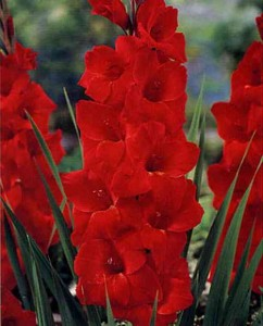 Red sword lillies - back to school flowers