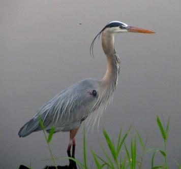 Great Blue Heron commons.wikimedia.org
