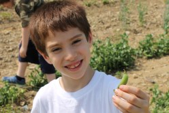 Andrew_Snap Pea_Lawrence Farms