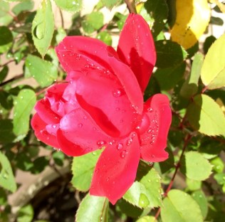 red knock out rose blossom