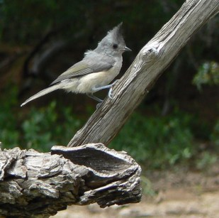 black crested titmouse photo llano river S.P
