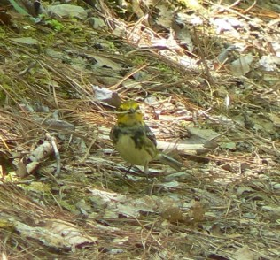 warbler in the smokies