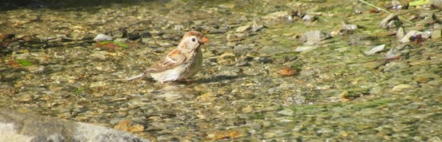 field sparrow photo wes siegrist