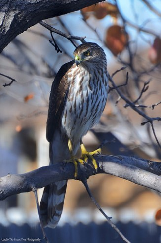 A Cooper's Hawk landed in our tree, a couple of years ago. (January 2015)